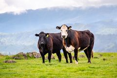 Grass fed cattle on a green meadow, looking at the camera, south San Francisco bay area, San Jose, California stock image