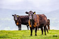 Grass fed cattle on a green meadow, looking at the camera, south San Francisco bay area, San Jose, California royalty free stock image