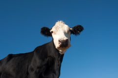 Grass fed cow and blue sky Royalty Free Stock Photos