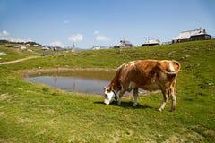 Grass fed cow on Velika planina Stock Image
