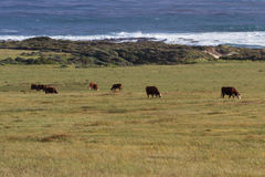 Grass fed cows. Healthy cows roaming on open grass lands on the California coast Stock Images