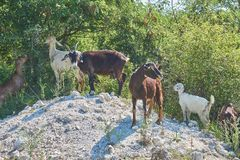 Grass-Fed Goats On Pasture. In Italy in bright sunny day royalty free stock image