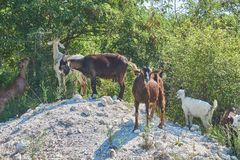 Grass-Fed Goats On Pasture. In Italy in bright sunny day royalty free stock images