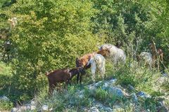 Grass-Fed Goats On Pasture. In Italy in bright sunny day royalty free stock photography