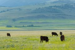 Grass-fed livestock. Grass-fed cows on the meadows of Montana ranch, USA royalty free stock photography