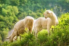 Grass feed sheep Royalty Free Stock Image