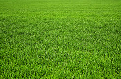 Grass on the field Royalty Free Stock Images