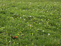 Grass Field. With a lot of white and yellow flowers and one dry leaf Stock Image