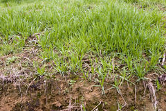 Grass in the field. Green grass in the field ,fresh soil can be seen Royalty Free Stock Photo