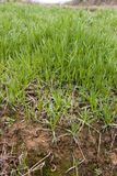 Grass in the field Royalty Free Stock Photo