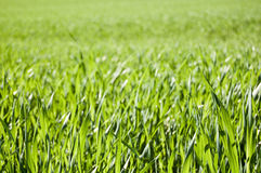 Grass Field. Beautiful clean image of a field of green grass, perfect for any deign, enjoy Stock Photo