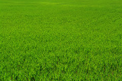 Grass field Royalty Free Stock Photography
