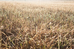 Grass of the field Royalty Free Stock Photo
