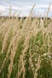 Grass on the field, bended from the wind Royalty Free Stock Photo
