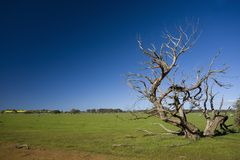 Grass field with bizarre dead tree Royalty Free Stock Image