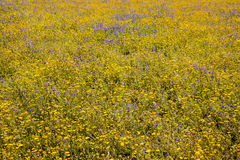 Grass field with blue and yellow flowers Stock Photos