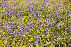 Grass field with blue and yellow flowers Stock Photography