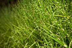 Grass in a field Royalty Free Stock Images