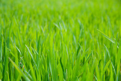 Grass field close-up Stock Images