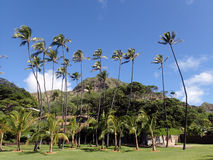 Grass field, Coconut, and other trees in park with Diamondhead C Stock Photo
