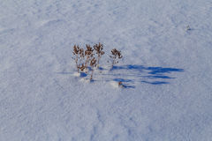 Grass in a field covered with snow. Visible only to the top, a sunny winter day Stock Photography