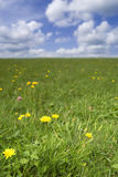 Grass field with dandelions in flower Royalty Free Stock Photos