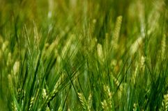 Grass, Field, Grass Family, Crop royalty free stock photos