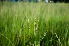 Grass, Field, Grass Family, Crop royalty free stock photography