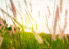 grass field and grass flowers in the morning with light sunrise Royalty Free Stock Images