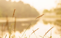 Grass field in the morning. Selective focus grass in the morning with haze beside the reservoir Stock Image