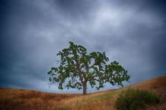 Grass Field and Oak Tree Stock Images