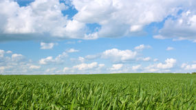Grass field over sky. Green grass over blue sky with clouds Royalty Free Stock Photo