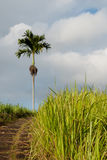 Grass field and palm. Field of grass and palm in Ubud, Bali, Indonesia Stock Photography