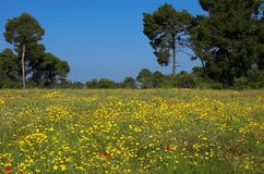 Grass field and pines. Grass field, yellow flowers and pines Stock Image
