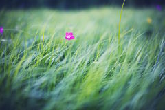 Grass field with pink flower. A grass field with a pink flower Royalty Free Stock Photography