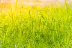 Grass on the field during sunrise Suitable for writing words or behind the scenes. royalty free stock photography