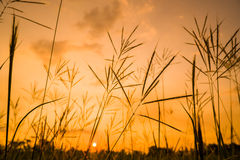 grass field with sunset Stock Image