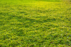 Grass field texture Royalty Free Stock Photography