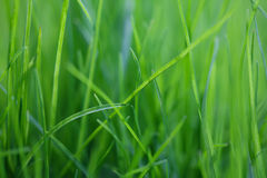 Grass field textured background, macro view. Green color energy concept soft focus. shallow depth Royalty Free Stock Image