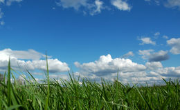 Grass field under blue sky. Green grass close up under blue sky and fluffy clouds royalty free stock photography