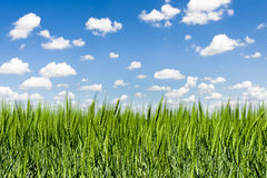 Grass field under a windy blue sky Stock Photo