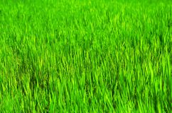 Grass field, vivid color. And gradient focus Stock Photo