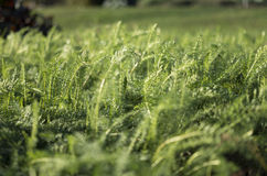 Grass Field Weeds Royalty Free Stock Image