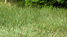 Grass Field in Wind stock footage