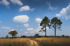 Grass fields under the blue sky. Tropical savanna with the golden grass fields, pine trees under the blue sky. The road run through this Thung Nang Phaya Grass Royalty Free Stock Image