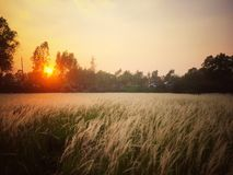 Grass file. Sunset only one Stock Photography