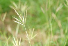 Grass in filed. Close up grass flower in grass filed royalty free stock images