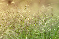 Grass. Fine and fragile grass at sunset Stock Photos
