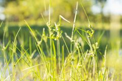 Grass, Flora, Grass Family, Plant royalty free stock image