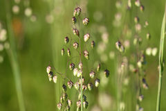 Grass flower Stock Photography